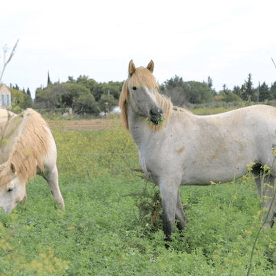 jument chevaux Camargue