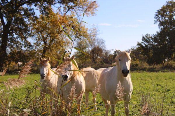 Lait de jument chevaux Camargue