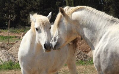Cheval Camargue, notre Crin Blanc