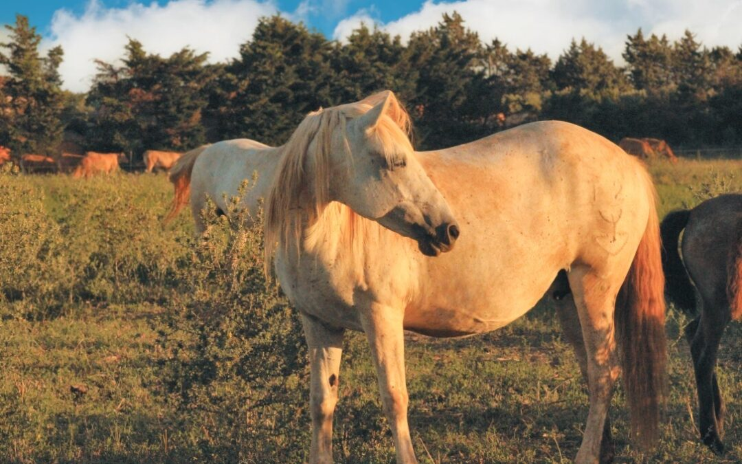 Crin Blanc, le Cheval Camargue