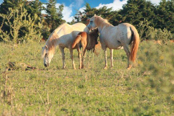 crin blanc cheval Camargue